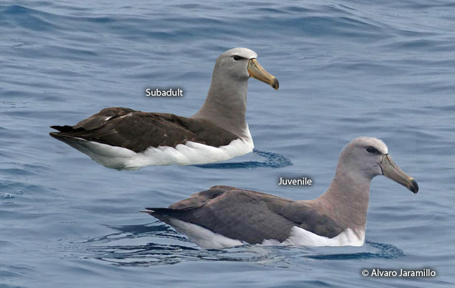 chatham-albatross