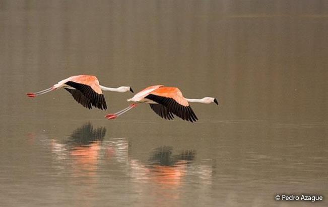 chilean_flamingo