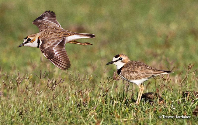 collared_plover