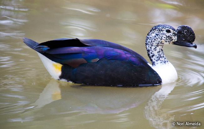 comb_duck