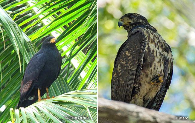 common_black-hawk