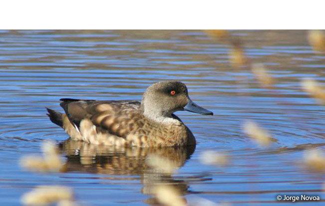 crested-duck