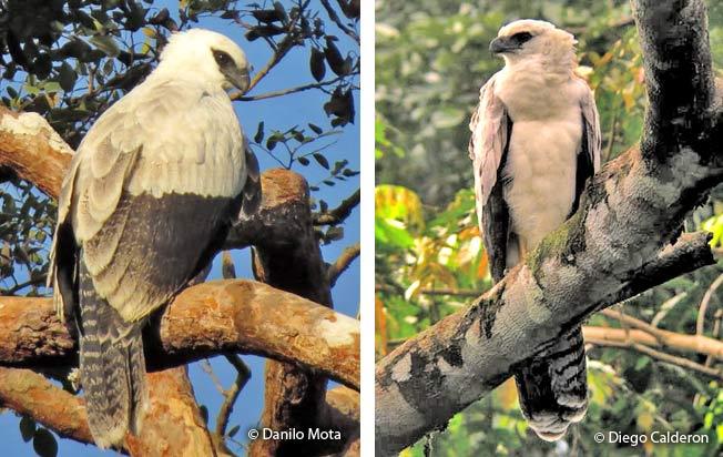 crested-eagle