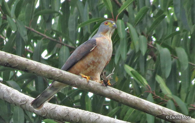 double-toothed_kite