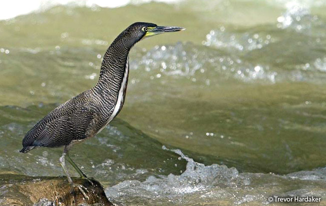 fasciated_tiger-heron