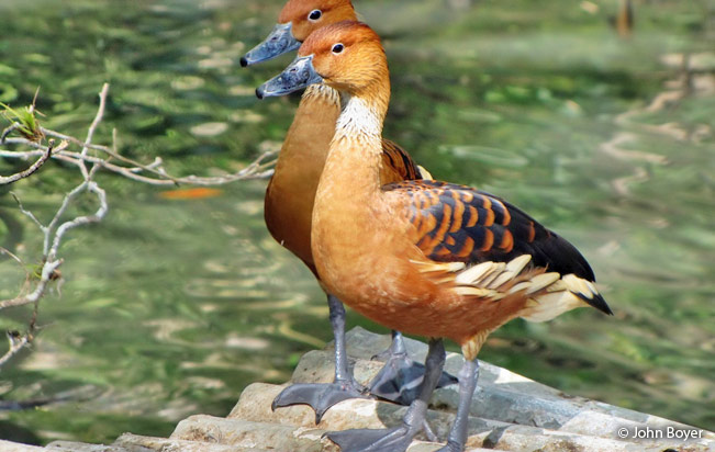 fulvous_whistling_duck