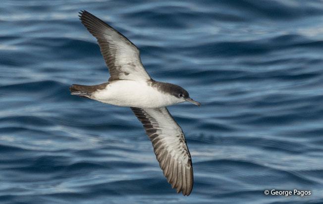 galapagos-shearwater