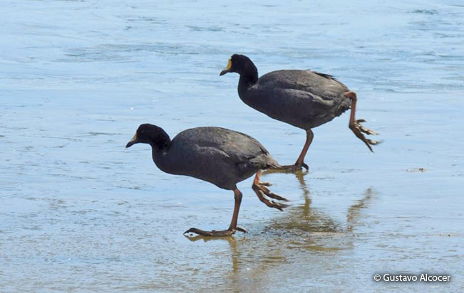 giant_coot