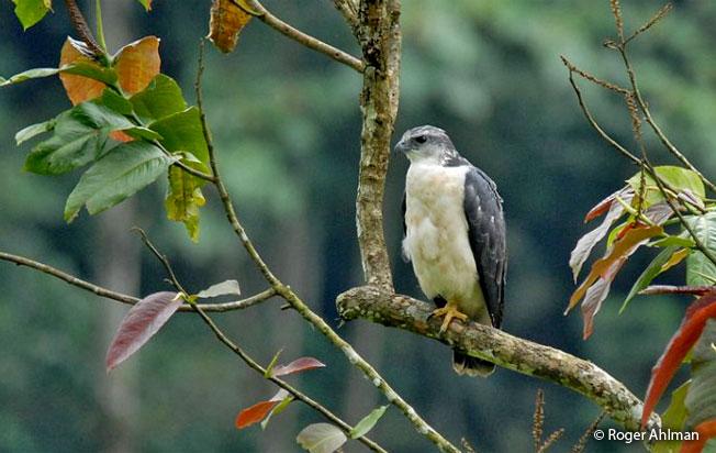 gray-backed_hawk