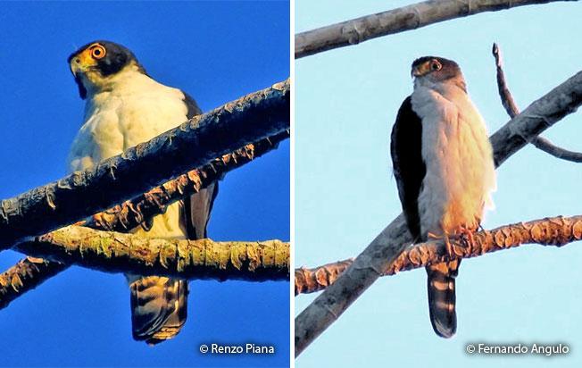 gray-bellied-hawk