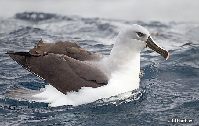 gray-headed_albatross