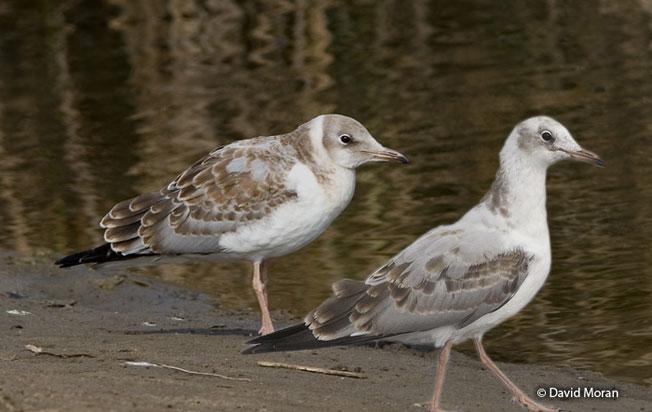 gray-hooded_gull