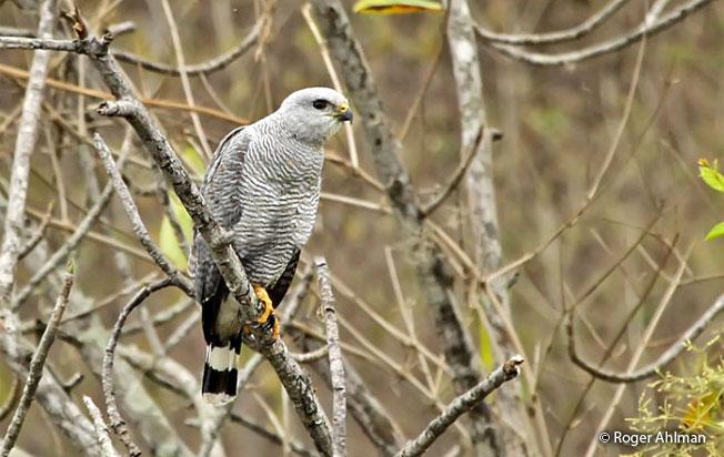 gray-lined_hawk
