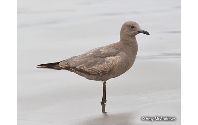 gray_gull