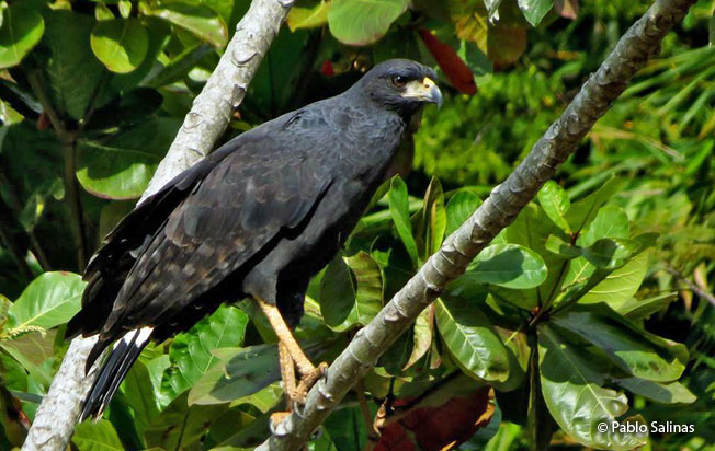 great-black-hawk
