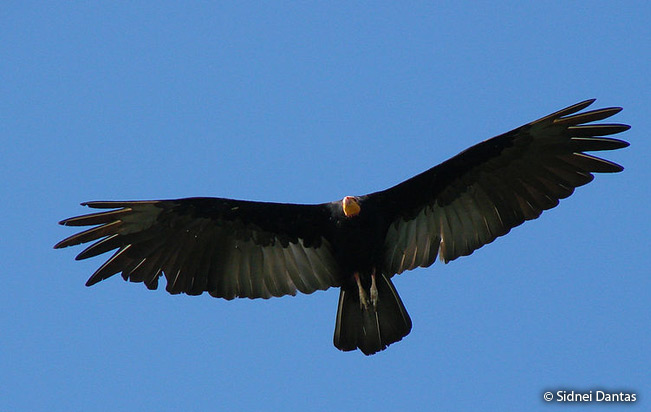 greater-yellow-headed-vulture