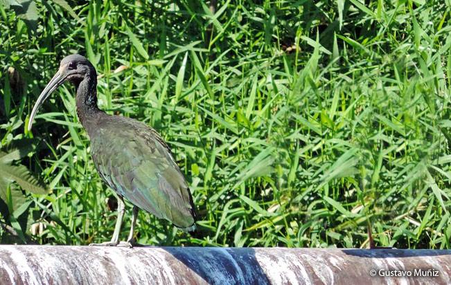 green_ibis
