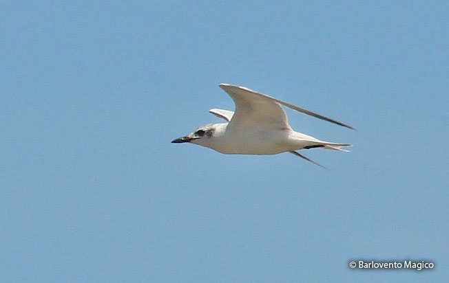 gull-billed_tern