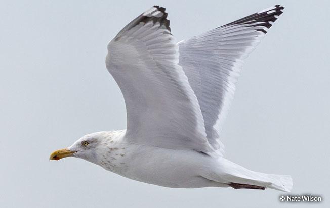 herring_gull