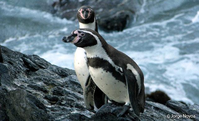 humboldt_penguin