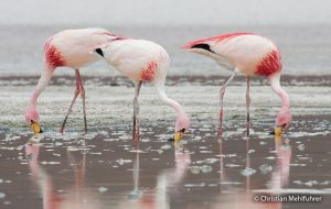 James's or Puna Flamingo