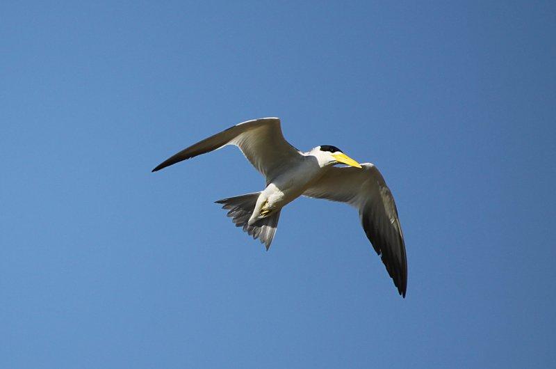 large-billed-tern