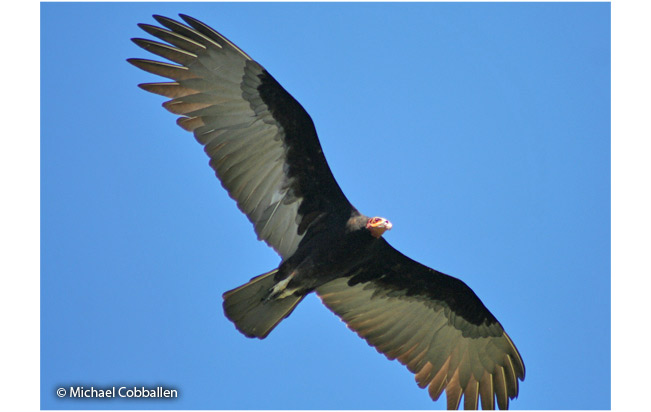 lesser-yellow-headed vulture