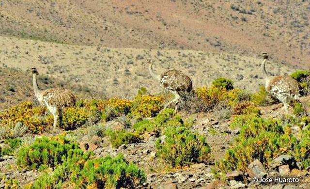 lesser rhea