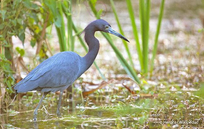 little_blue_heron