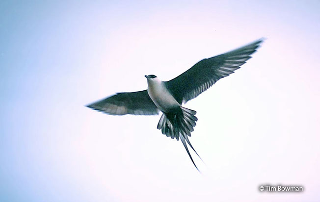 long-tailed_Jaeger