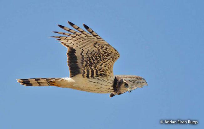 long-winged_harrier