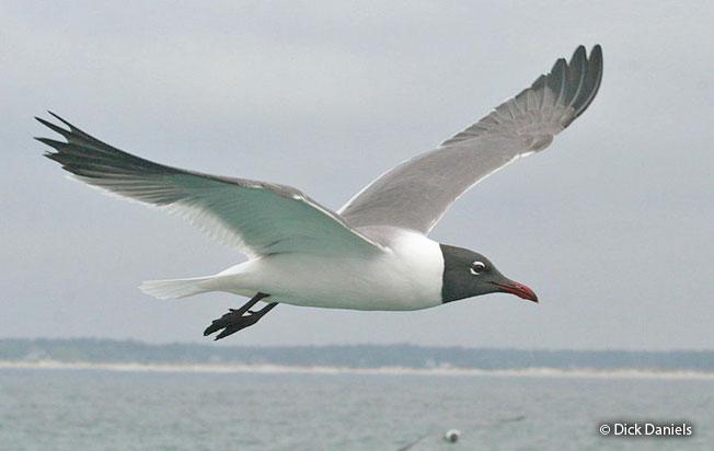 luaghing_gull