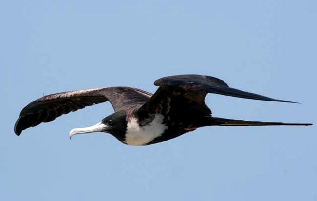 magnificent_frigatebird