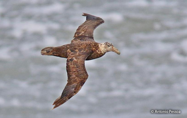 northern-giant_petrel