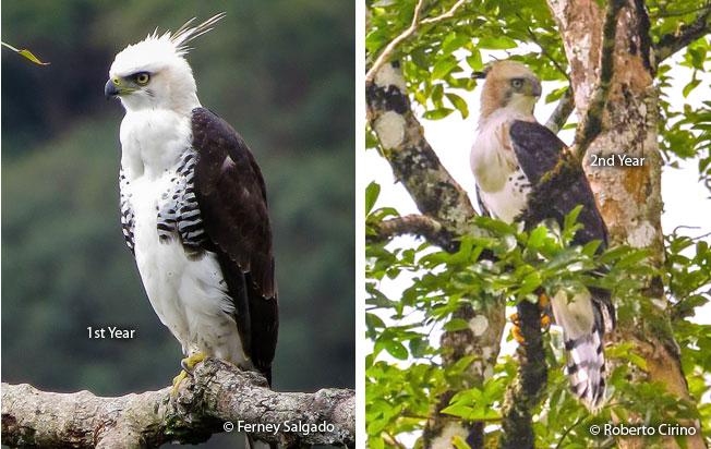 ornate_hawk-eagle