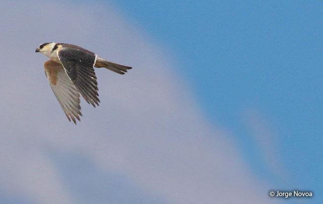 pearl-kite