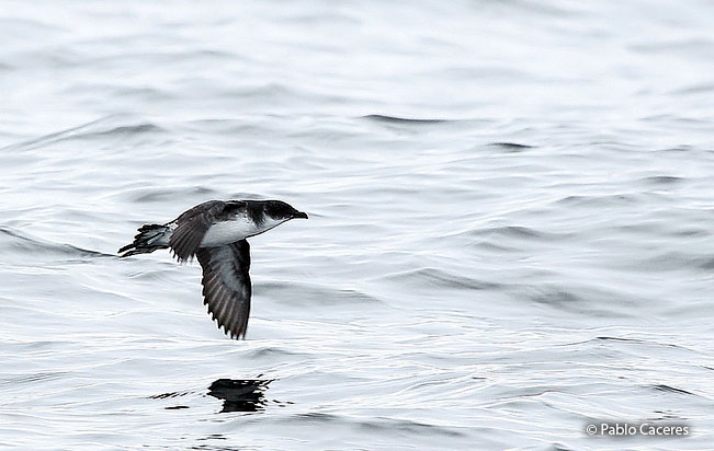 peruvian_diving-petrel