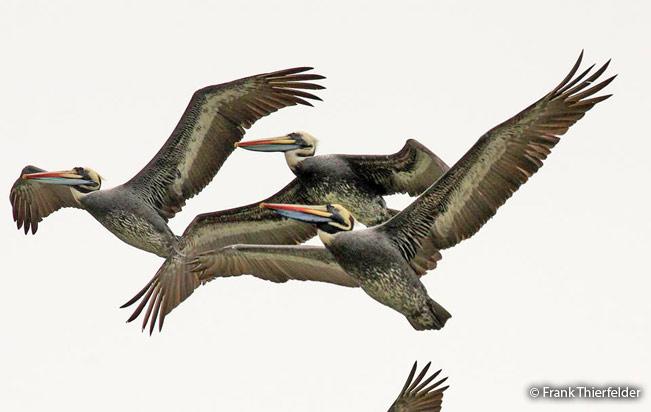 peruvian_pelican