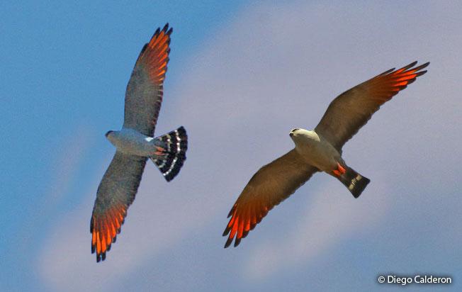 plumbeous-kite