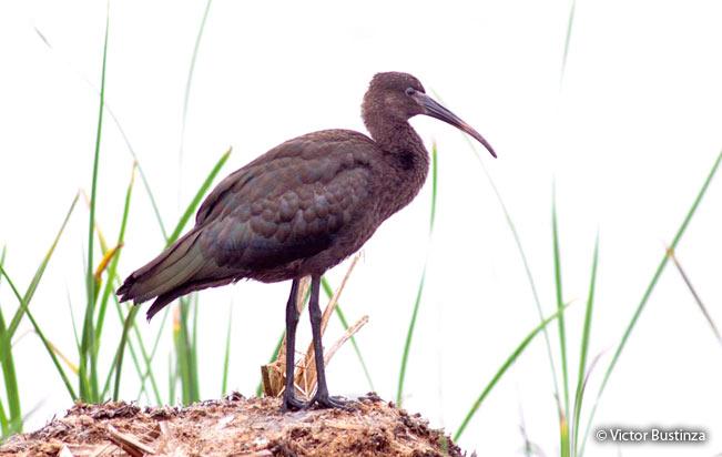 puna-ibis