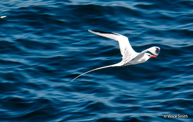 red-billed_tropicbird