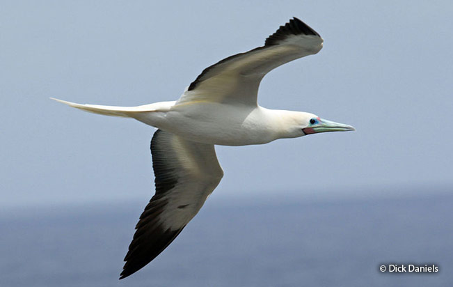 red-footed-booby