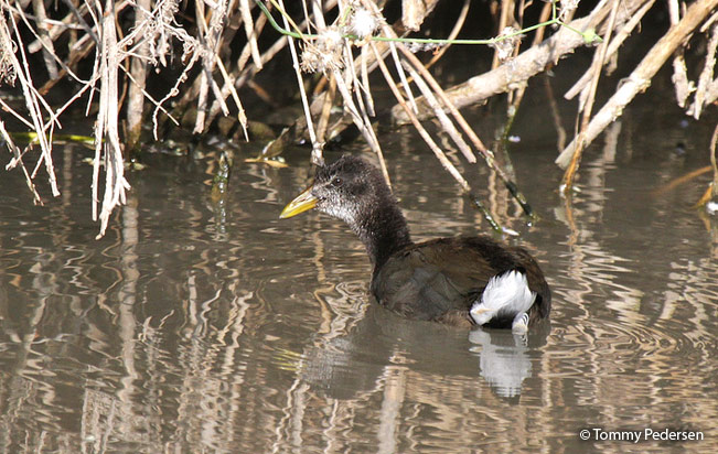 red-fronted_coot