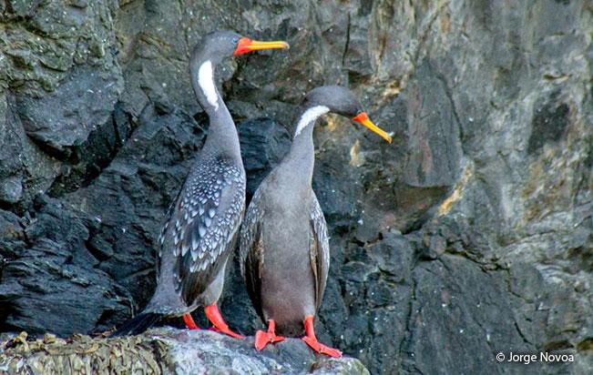 red-legged-Cormorant