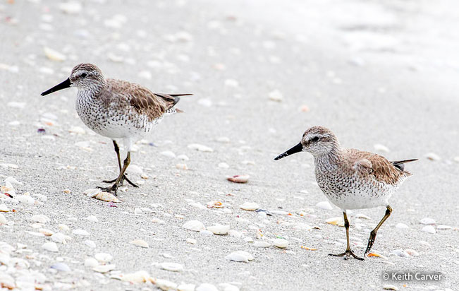 red_knot