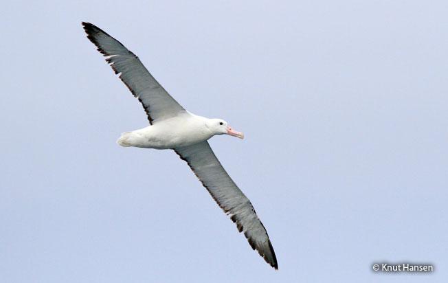 royal_albatross