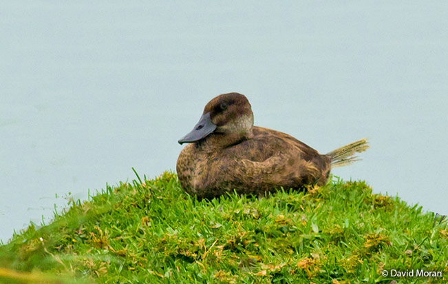 ruddy_duck