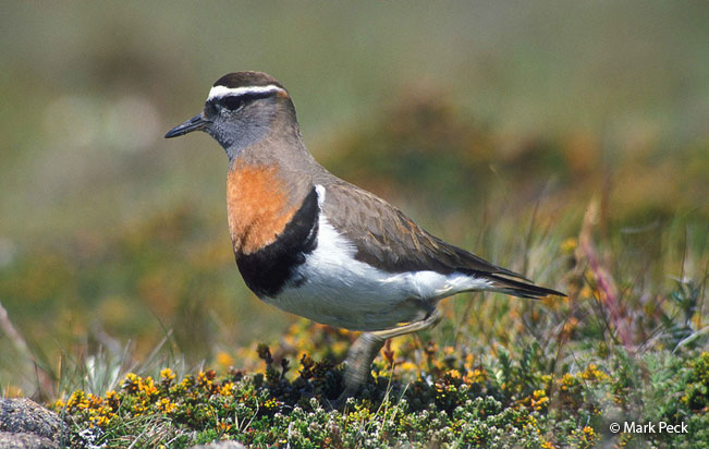 rufous-chested_dotterel