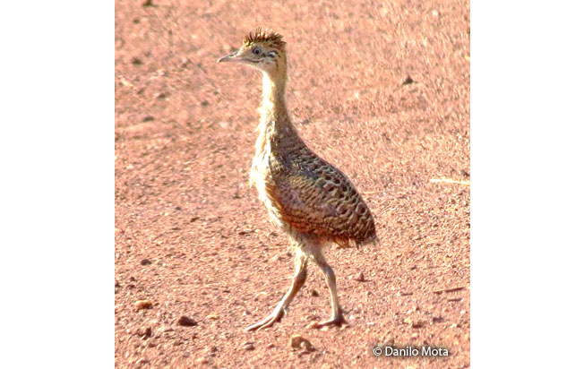 red-winged-tinamou