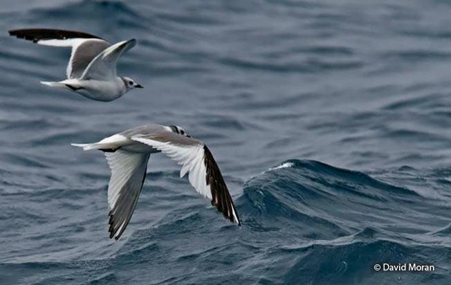 sabine's_gulls
